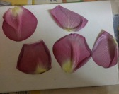 Rose Petal Painting Trial 3